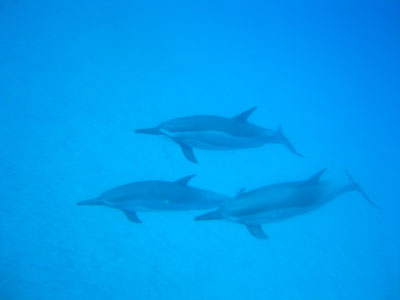 hawaii_dolphin01.jpg