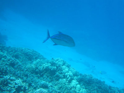 honaunau_fish.jpg